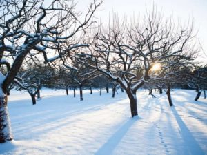 snow covered orchard https://www.woodlandtrust.org.uk/blogs/woodland-trust/2017/01/how-to-prune-apple-trees-in-winter/?utm_source=twitter&utm_medium=social&utm_campaign=blogs&utm_content=gardening